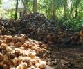 Pohon Cengkih Tak Produktif, Petani Pulau Midai Pindah ke Kelapa