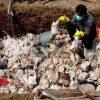 Daging dari Singapura dan Malaysia Dimusnahkan