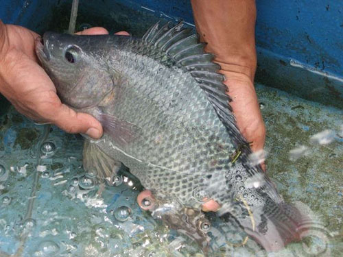 Per Bulan, Kube Nila Mandiri Produksi 5 Kuintal Ikan Nila