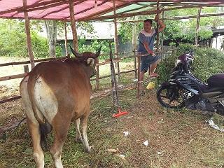 Hewan Kurban di Pinang Sudah 1.200 Ekor